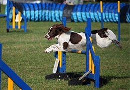 Dog jumping over hurdle