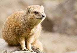 Mongoose sat on a rock