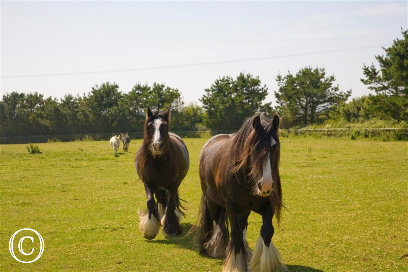 Owners Shire horses in neighbouring field